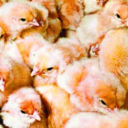 Here Come the Chicks 1/20