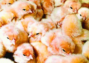 Here Come The Chicks 3/10