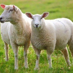 Pecorino: From Ewe to Cheeselovers