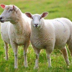 Pecorino: From Ewe to Cheeselovers